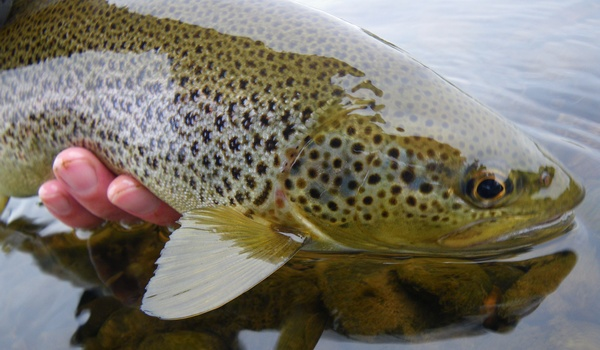 This Eden brown trout had been feeding heavily on Black Gnats