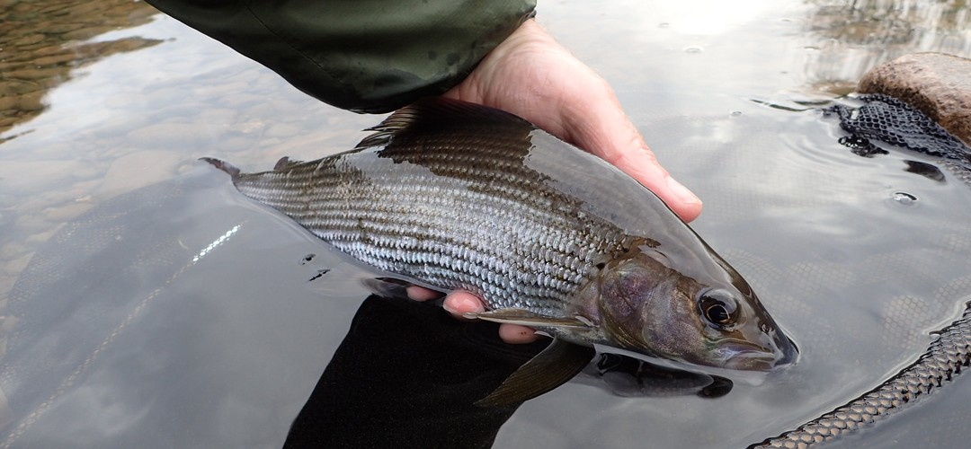 Grayling fishing for Penrith Anglers members