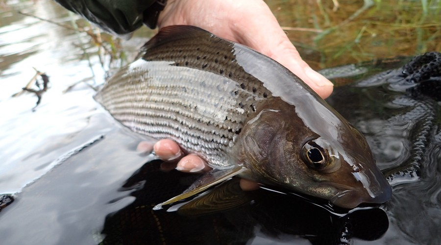 Grayling fishing for members on Penrith Angling Association